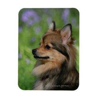 Pomeranian Headshot Sitting Rectangular Photo Magnet