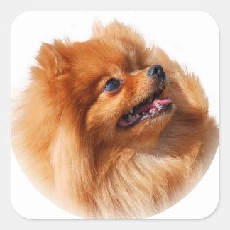 Pomeranian Spitz Square Sticker
