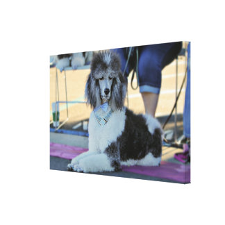 Poodle Day 2016 - Chip - Standard Poodle Canvas Print