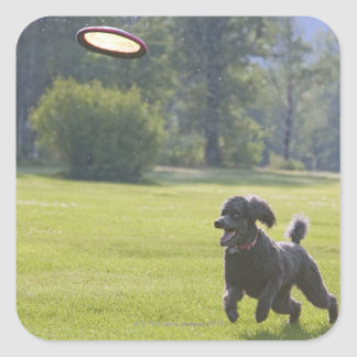 Poodle playing frisbee square sticker
