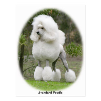 Poodle Standard 9Y199D-029 Postcard