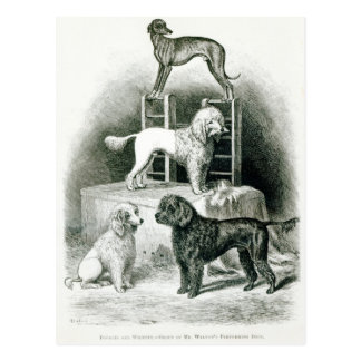Poodles and Whippet - Group of Mr. Walton's Postcard