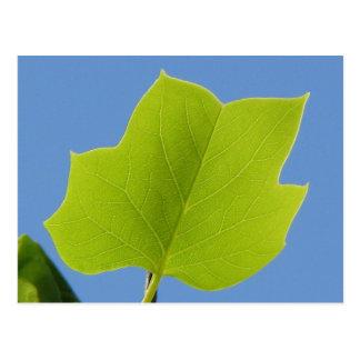 Poplar Tree Leaf Postcard