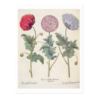 Poppies: 1.Papaver multiplex albumoris rubicundis; Postcard