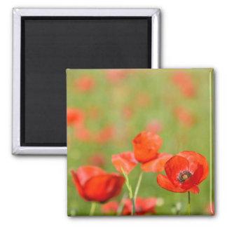 Poppies in a poppy field magnet