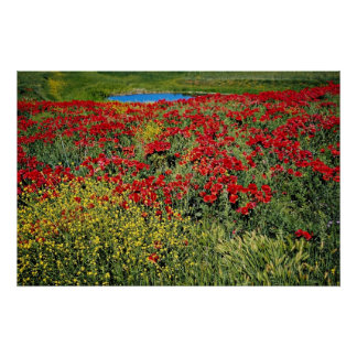 Poppy field, Middle Atlas, Morocco  flowers Poster