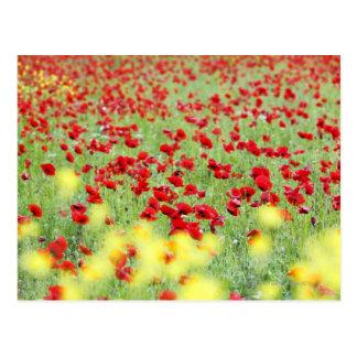 Poppy Field, Siena, Italy Postcard