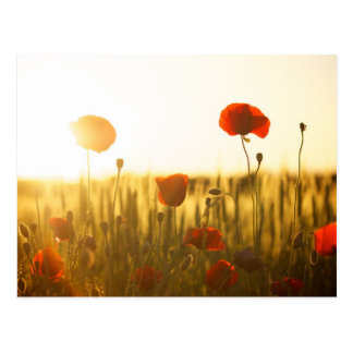 Poppy flowers in sunlight postcard