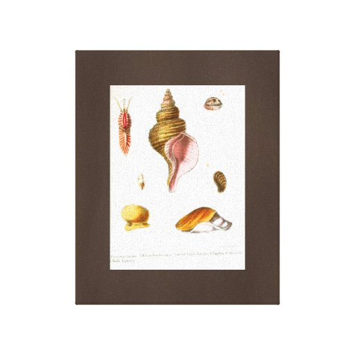 Popular Seashells Drawing Vintage Art Canvas Brown Canvas Prints