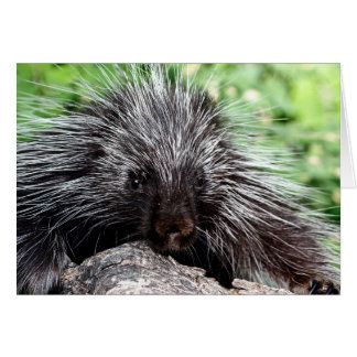 Porcupine Lounging Card