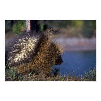 Porcupine Poster