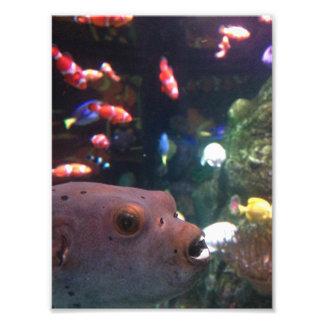 Porcupinefish Photo Print