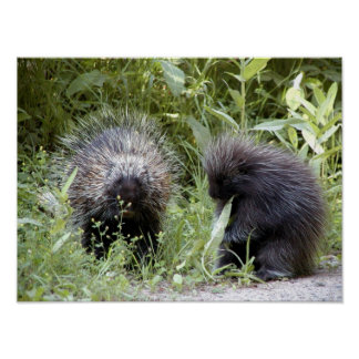 porcupines poster