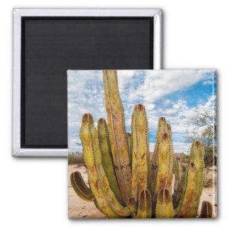 Portrait de cactus de vieil homme, Mexique Magnet Carré
