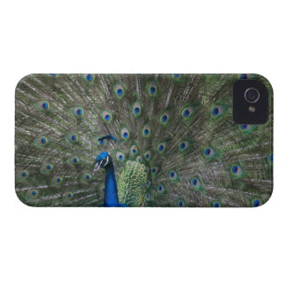 portrait, feathers, colorful, peacock, outdoors, Case-Mate iPhone 4 case
