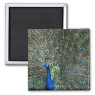 portrait, feathers, colorful, peacock, outdoors, square magnet