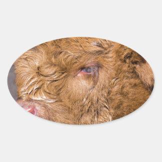 Portrait head newborn scottish highlander calf oval sticker