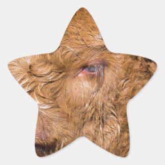 Portrait head newborn scottish highlander calf star sticker