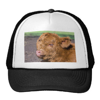 Portrait head newborn scottish highlander calf trucker hat