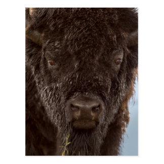 Portrait Of A Bison Bull In The Rain Postcard