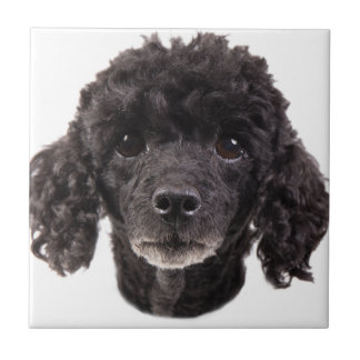 Portrait of a black poodle tile