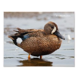 Portrait of a Blue-Winged Teal Photo Print