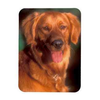Portrait of a golden retriever magnet