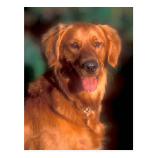 Portrait of a golden retriever postcard