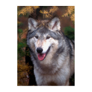 Portrait of a gray wolf acrylic wall art
