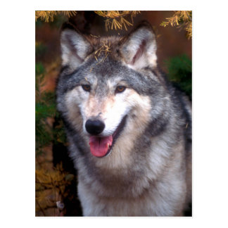 Portrait of a gray wolf postcard