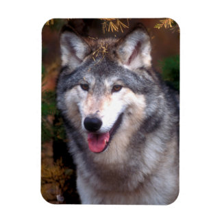 Portrait of a gray wolf rectangular photo magnet