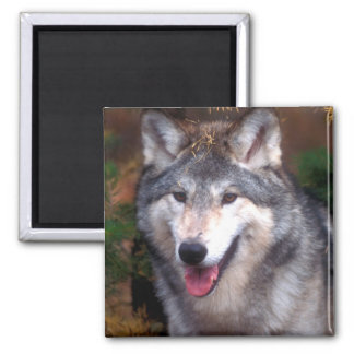 Portrait of a gray wolf square magnet