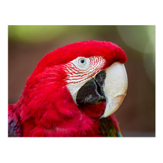 Portrait of a Green-winged Macaw Postcard