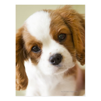Portrait of a King Charles Spaniel puppy Postcard