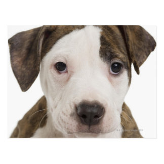 Portrait of a pitbull puppy postcard