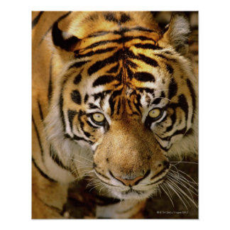 Portrait of a tiger poster