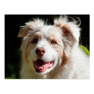 Portrait of an Australian Shepherd Postcard