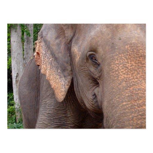 Portrait of an elephant postcard
