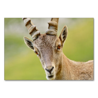 Portrait of an ibex card