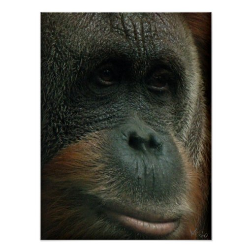 Portrait of an Orangutan poster / print Poster