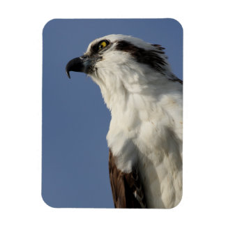 Portrait of an osprey magnet