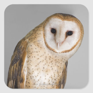 Portrait of barn owl (Tyto alba). Square Sticker
