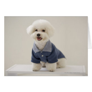 Portrait of Bichon Frise standing on table Card