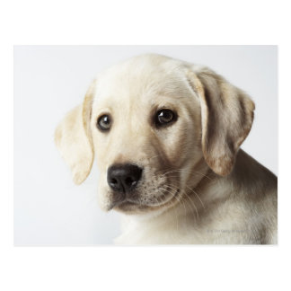 Portrait of blond Labrador Retriever Puppy Postcard