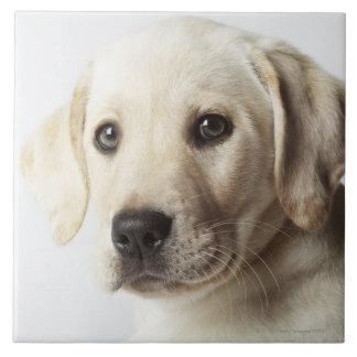 Portrait of blond Labrador Retriever Puppy Tile