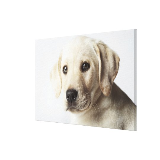 Portrait of blonde Labrador Retriever Puppy Canvas Print