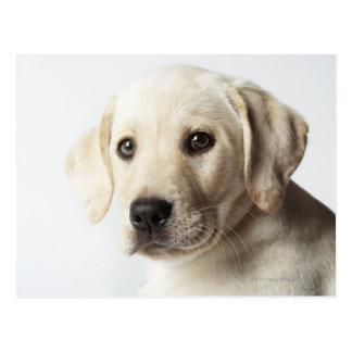Portrait of blonde Labrador Retriever Puppy Postcard
