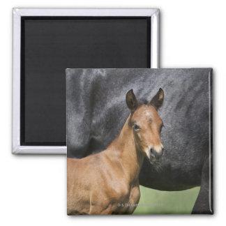 portrait of brown foal square magnet