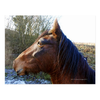 Portrait of brown horse on cold day staring into postcard