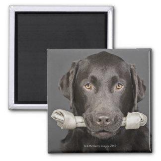 Portrait of chocolate labrador square magnet